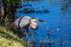 Heron in Everglades. Great blue Heron in Everglades NP,Florida stock photo