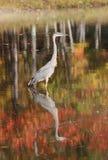 Heron in fall Stock Image
