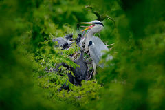 Heron family in the nest. Feeding scene during nesting time. Grey heron with young in the nest. Food in the nest with young herons Stock Photo