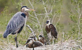 Great Blue Heron. Family nesting at a park near Denver, Colorado Stock Photo
