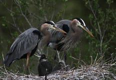 Heron Family Stock Photography