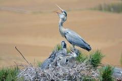 Feeding heron. The heron is feeding its nestling. Scientific name: Ardea cinerea Stock Image