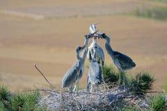 Feeding heron. The heron is feeding its nestling. Scientific name: Ardea cinerea Stock Images