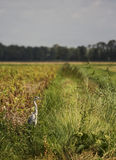 Heron in the field. A photo of a heron in a green field royalty free stock image