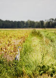 Heron in a field Royalty Free Stock Images