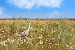 Heron on the field Stock Images