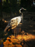 Heron firebird standing from right Stock Images