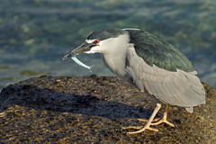 Heron & fish Stock Photography