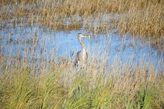 Heron With a Fish Royalty Free Stock Images