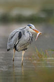 Heron with fish. Bird with catch. Bird in water. Grey Heron, Ardea cinerea, blurred grass in background. Heron in the forest lake. Royalty Free Stock Image