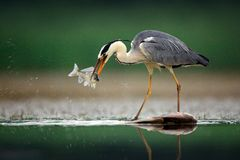 Heron with fish. Grey Heron, Ardea cinerea, blurred grass in background. Heron in the forest lake. Animal in the nature habitat,. Hunting in the water stock photo