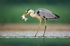 Heron with fish. Grey Heron, Ardea cinerea, blurred grass in background. Heron in the forest lake. Animal in the nature habitat, h. Unting in the water Royalty Free Stock Photography