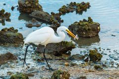 Heron with fish in its beak walking on shore Royalty Free Stock Image