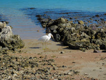 Heron with fish on the Red Sea Coast in Egypt Stock Photo
