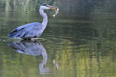 A heron with a fish in their beak on the Ornamental Pond, Southampton Common Stock Image