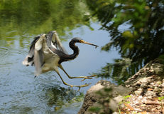 Heron fishing Stock Image