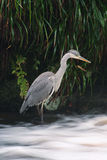 Heron fishing. Grey Heron (Ardea cinerea) waiting patiently for a fish Royalty Free Stock Image