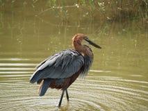 Heron fishing Stock Photography