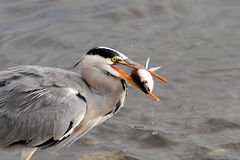 Heron fishing Stock Photos
