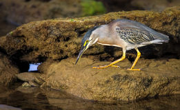 Heron while fishing on the coast of Bahia Brazil. A heron is looking for prey Stock Image