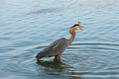 Heron fishing at dawn Stock Photo
