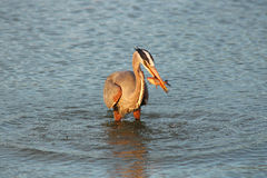 Heron fishing at dawn Stock Images