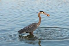 Heron fishing at dawn Stock Photography