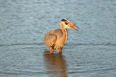Heron fishing at dawn Royalty Free Stock Photos