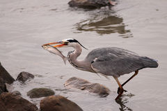 Heron fishing fish Stock Photography