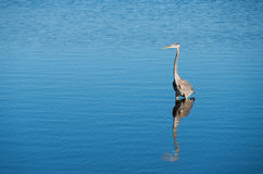 Heron fishing Royalty Free Stock Photos