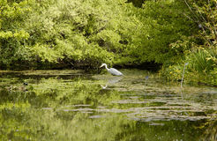 Heron Fishing In Pond Royalty Free Stock Photography