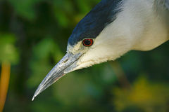 The heron is fishing. Royalty Free Stock Image