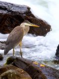 Heron Fishing For Meal stock photography