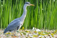 A heron fishing on the Ornamental Pond, Southampton Common stock images