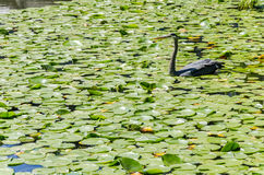 Heron Fishing in A Pond Stock Image