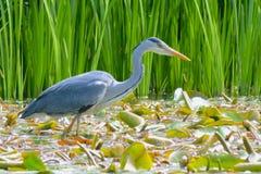 A heron fishing on the Ornamental Pond, Southampton Common Stock Photos