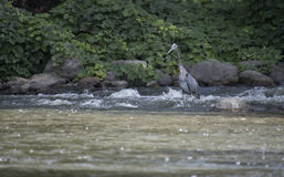 Heron fishing on rock in a park Royalty Free Stock Images
