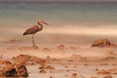 Heron Fishing From Rocks in Sulawesi Royalty Free Stock Photography