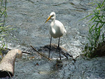 Heron Fishing. White Heron with fish in mouth. LaSalle QC Stock Photography