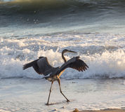 Heron fishing. Heron with wings spread, fishing on the beach Stock Photography
