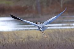 Heron flies with fish in beak. Stock Photography