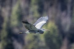 Heron flies low in the sky royalty free stock images