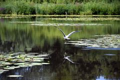 Heron flies over the lake after having rested for some time. After having rested for some time, a heron flies away over the lake in the city of Zoetermeer near Stock Images