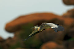 Heron in Flight Stock Image