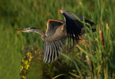 Heron in flight Royalty Free Stock Photography