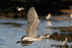 Heron flight Royalty Free Stock Photos