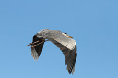 Heron in flight Stock Photos