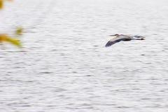 Heron in flight. Great blue heron in flight over a lake Stock Photo