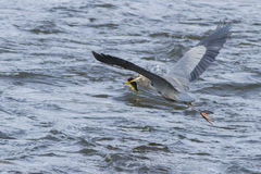 Heron in flight with big fish Stock Images