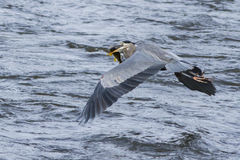 Heron in flight with big fish Royalty Free Stock Images
